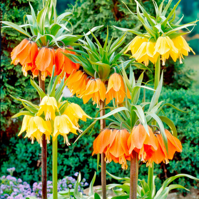 100PCs Fritillaria Imperial Crown Flowers Seeds Rare 7 Kind Plants Bonsai Home🌷