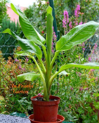 wunderschöner Gigant 5 Samen musa Abessinische Banane Ensete ventricosum