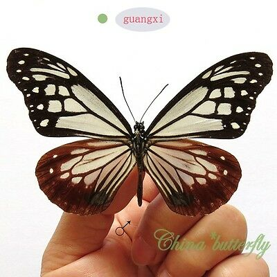 collection unmounted butterfly danaidae parantica sita GUANGXI  China A1