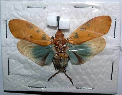 Pyrops pyrorhhyncha Colorful Lanternfly REAL Insect Unmounted