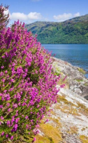 2000 graines 1g-calluna vulgaris-violet à fleurs vivaces Scottish heather