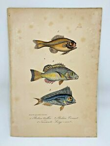 Fish Plate 92 Lacepede 1832 Hand Colored Natural History