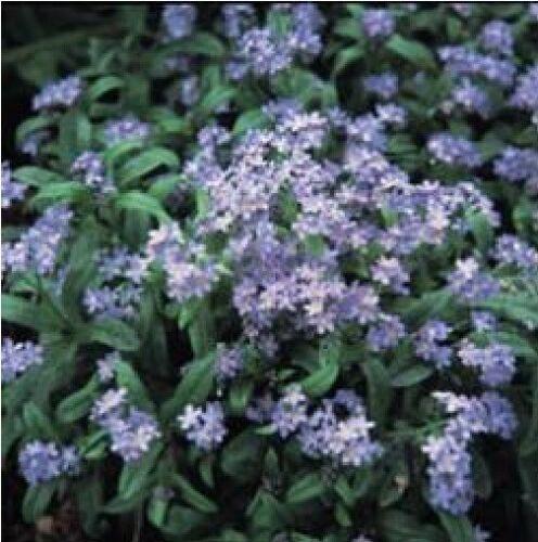 Fleur-Grosses graines-paquet illustré-forget-me-not /> bleu clair