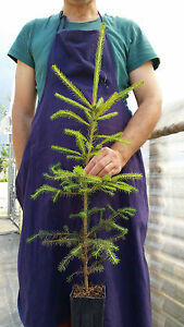 Picea abies Semi Norvegia Peccio 40 Semi