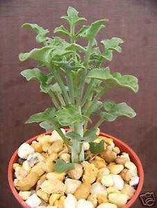 Senecio-articulatus-rare-hanging-basquet-flower-succulent-plant-cactus-cacti-4