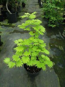 Acer-shirasawanum-Aureum-Goldahorn-japanischer-gelber-Faecherahorn-40-50cm