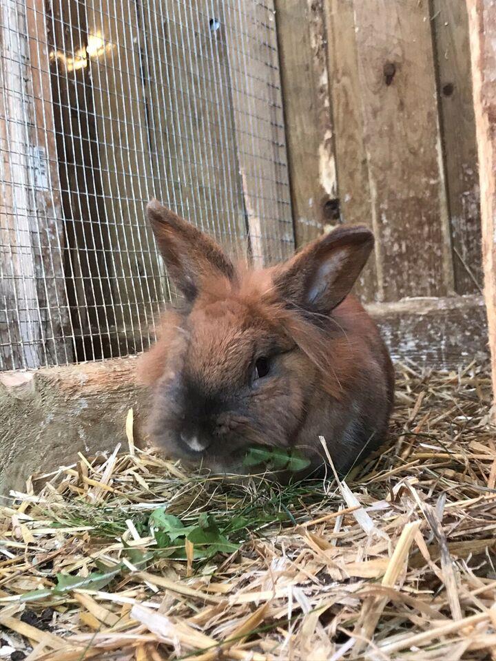 Kanin, Løvehoved, 2 år