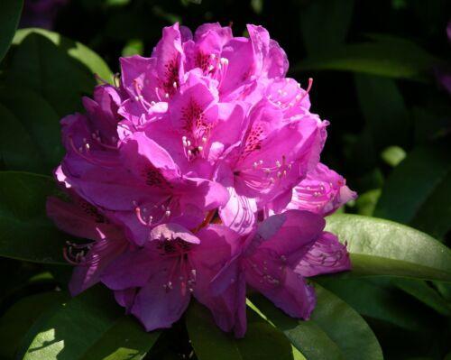Rhododendron Macrophyllum 25 seeds Evergreen Shrub Big Leaf Rhododendron