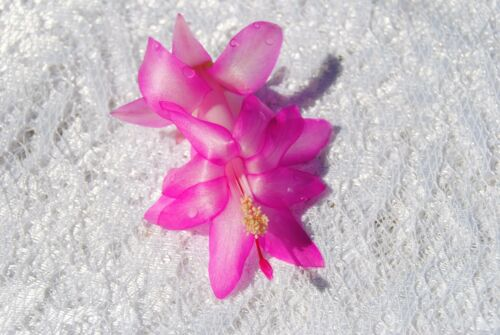 Christmas Cactus//Schlumbergera Plant~~You Choose What Variety You Want~~Group 10