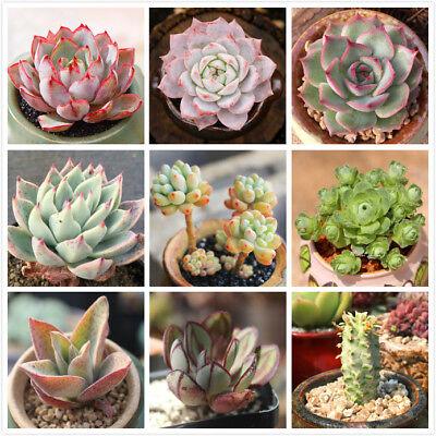 Live Succulent Lithops Cactus Pseudotruncatella Ornamental Plant