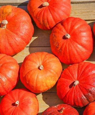 Pumpkin seeds Titan Ukraine Heirloom Vegetable Seeds