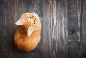 A1-Ginger-Kitten-Poster-Art-Print-60-x-90cm-180gsm-Cat-Cute-Girl-039-s-Gift-8925