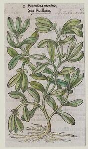 JOHN-GERARD-BOTANICA-MATTHIOLI-1597-PORTULACA-MARINA-PIANTE-MARINE-ORIGINALE