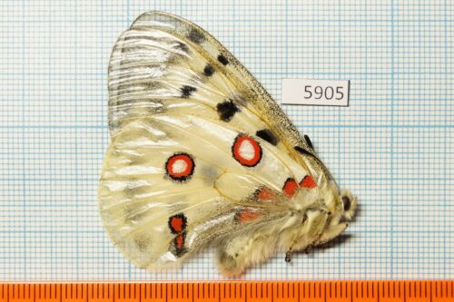 limicola 12m S.Ural Mts Papilionidae PRICE FOR EACH Parnassius a wild