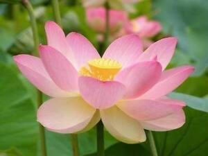 Nelumbo Nucifera Loto Sacro Lotus