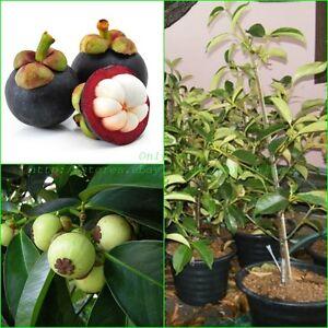 frutta di garcinia nel canada