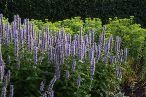Agastache Blue HYBRID BLUE HYSSOP Seeds!