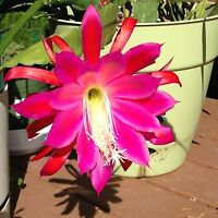 One Orchid Cactus (Epiphyllum) cutting - extra large, pretty rosy flowers!