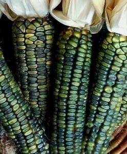 Rare Oaxacan Emerald Green Dent Corn Seeds Heirloom Organic Zapotec Tamales
