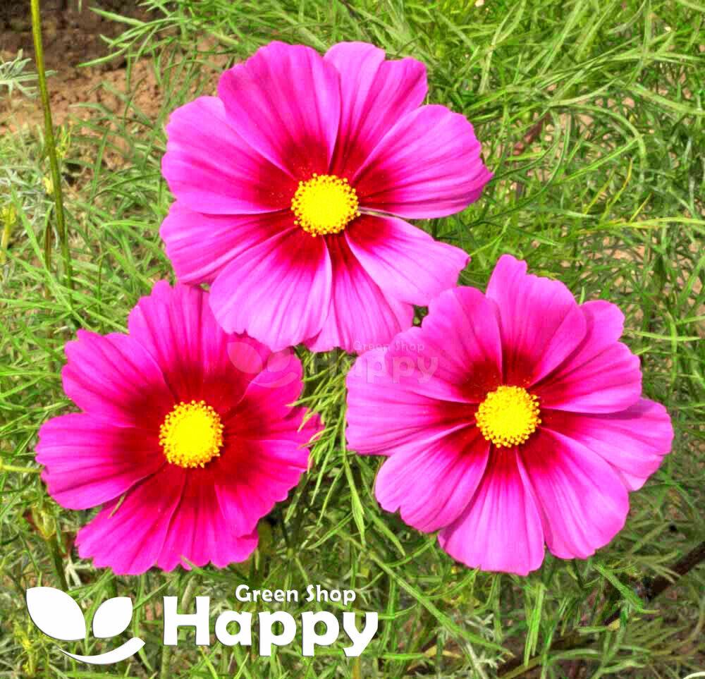 FLOWER - COSMOS SEEDS - RADIANCE - 300 seeds - Cosmos Bipinnatus - VERY TALL