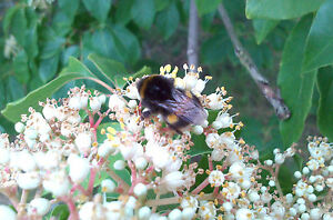 BEE-TREE-Evodia-hupehensis-hardy-tree-scented-flowers-wildlife-food-8cm-pot