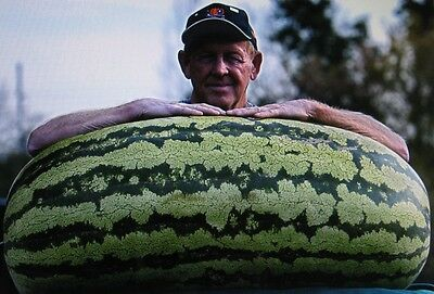BULK ***** 200 SEEDS ***** COMPETITION WATERMELON *CROSS HYBRID *MEDICINAL*