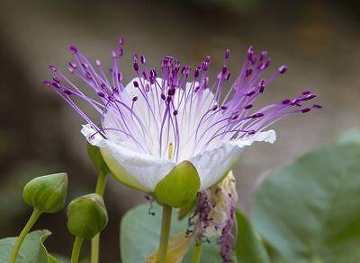 Die Blüte: Ein Weißer Kelch Und Lila Fäden Ragen Heraus - Der Kapernstrauch ! Obstructie Verwijderen