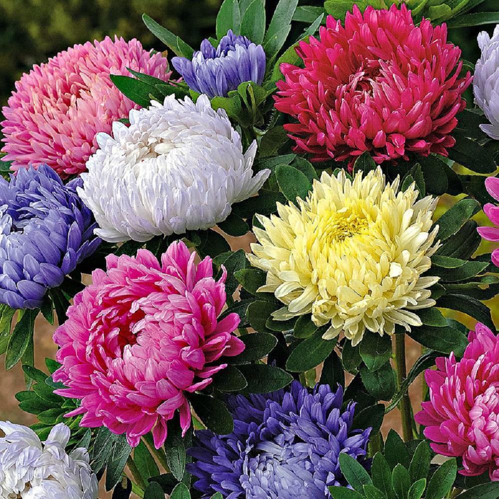 Flower Aster Paeony Flowered Mix Callistephus Appx 250 seeds