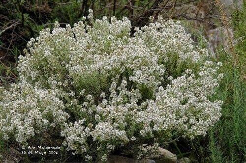 Thymus baeticus (20 graines)