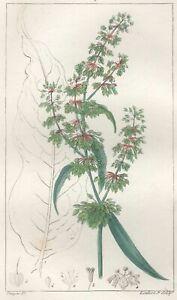 Decoration-Botanique-Fleur-Patience-gravure-Pierre-Jean-Francois-Turpin