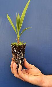 WASHINGTONIA-ROBUSTA-OFFERTA-40-PIANTE-alveolo-Palma-Messicana-Mexican-Palm