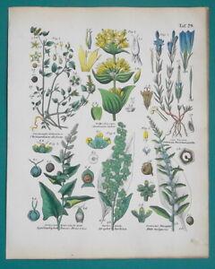 FLOWERS-Botany-Goosefoot-Gentian-Beet-Notchweed-Orache-1845-H-C-COLOR-Print