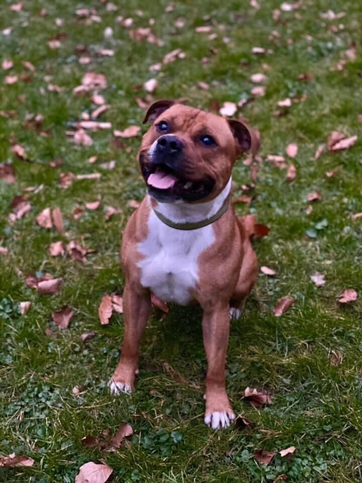 staffordshire bull terrier tilbydes til avl