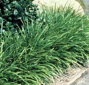 ELMARCO-Liriope-Muscari-dwarf-border-grass-plant-in-140mm-pot