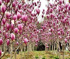 Magnolia Grandiflora Fragrant Perennial Flower Tree Seeds Garden