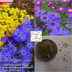 100 Swan River Daisy Mixed Splendour Seedsbrachycome Colourful