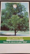 ELLIOTT PAPERSHELL PECAN TREE Shade Trees Live Healthy Plant Large Pecans Nuts