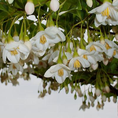 Snowbell Japanese Small Flowering Tree White Flower 18 Seeds