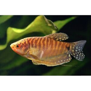 "Gold Gourami 1.5"" - 2"" Live Tropical Freshwater Aquarium Fish Tank Gouramis"