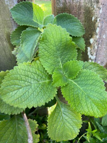Perennial Herb Plectranthus Amboinicus 5 Leaf Organic Cuban Oregano Tần dày lá