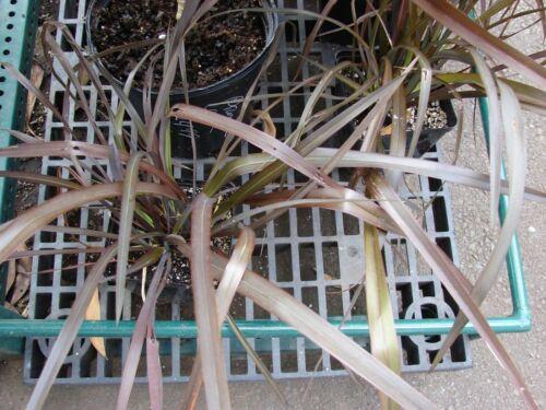 20 semi freschi Phormium tenax CV PURPUREUM-NUOVA ZELANDA LINO