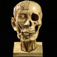 1pc Human Male Anatomical Skull Head body Model Muscle Bone Artist Display Draw