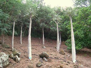 7-Semillas-Palma-de-Madagascar-PACHYPODIUM-GEAYI-Muy-Rara-Jardin-Plantas