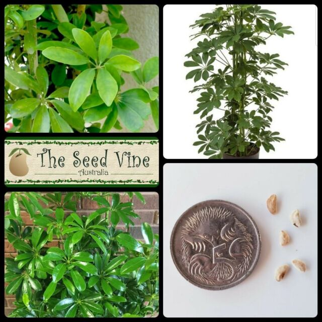 Dwarf Umbrella Tree Seeds Tropical Indoor//Outdoor Plant Schefflera arboricola