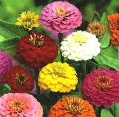 500 MIXED COLORS CALIFORNIA GIANT ZINNIA Elegans Flower Seeds + Gift *Comb S/H