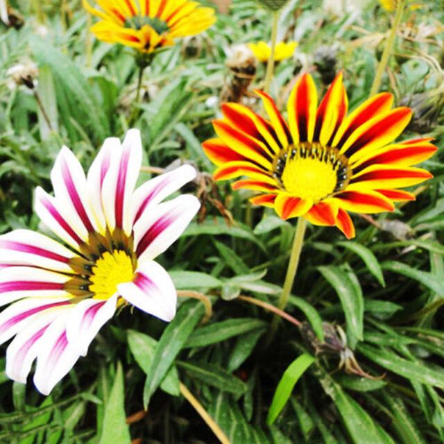 50 Stück Bunte Gazania Gazania Seeds Garten-Blumen Samen Pro Z8O8