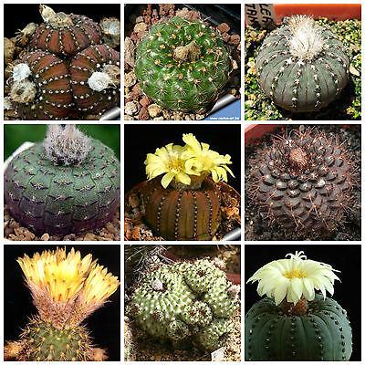 100 Semi In Miscuglio Di Frailea Mix ,piante Grasse,seed Cactus Mix Domanda Che Supera L'Offerta