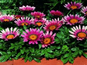 Gazania Seeds Bronze Seeds Flower Seeds 50 Seeds