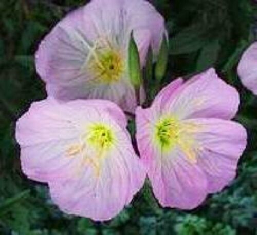 Evening Primrose //.Oenthera 40 Reseeding Annual Showy Pink Flower Seeds