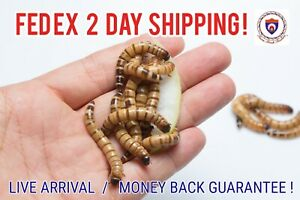 Live Superworms - Organically Raised - ALL SIZES / COUNTS!  2 Day Shipping!